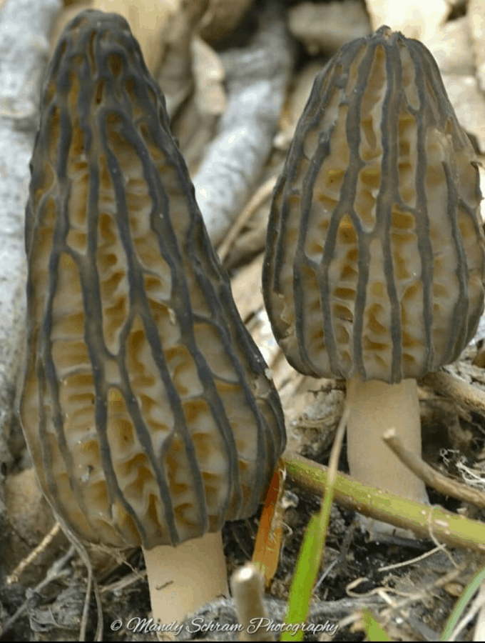 2 Morel Mushrooms