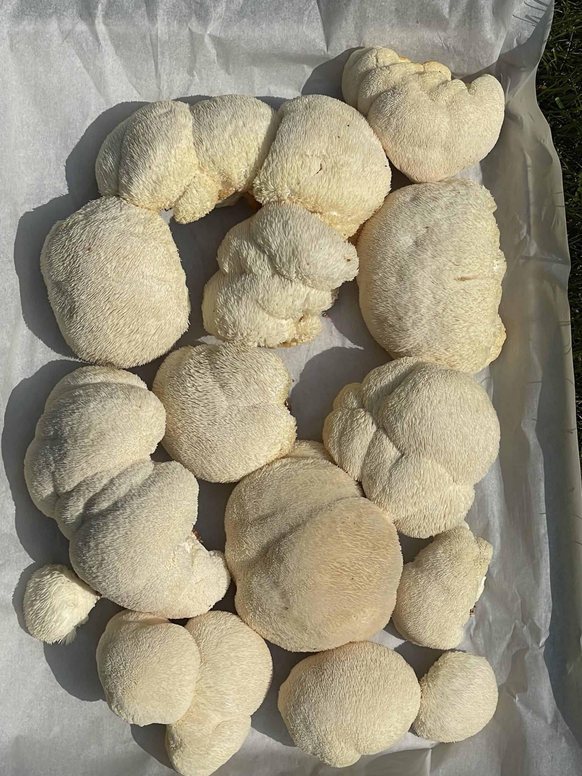Harvested Lion's Mane Mushrooms